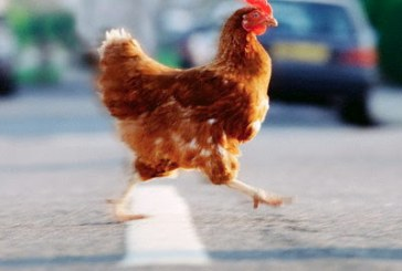 Η συμπεριφορική ψυχολογία ενός κοτόπουλου