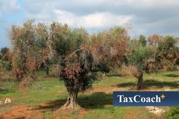 Ελαιόδεντρα vs Xylella – Σημαντικός ο Κίνδυνος!