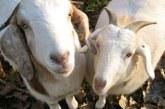 Άρθρο Φωτεινής Αραμπατζή στον «Ελεύθερο Τύπο»: Μια ιστορική ευκαιρία για την Ελληνική Αιγοπροβατοτροφία